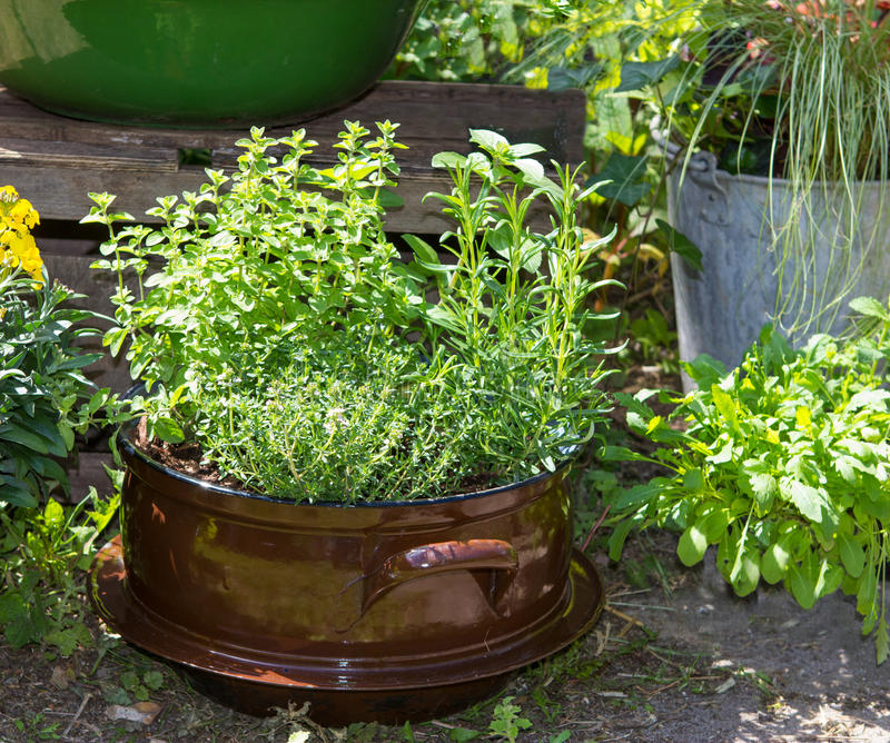 Several herbs like Basil and other in a old decorative pot. stock photography