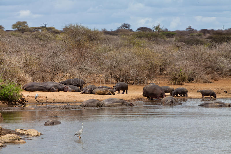 Several Hippo animals swimming in the water stock photo