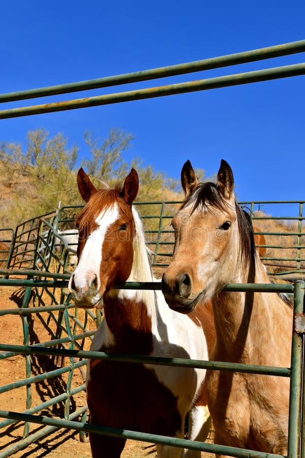 Horses leaning over a corral gate stock photo