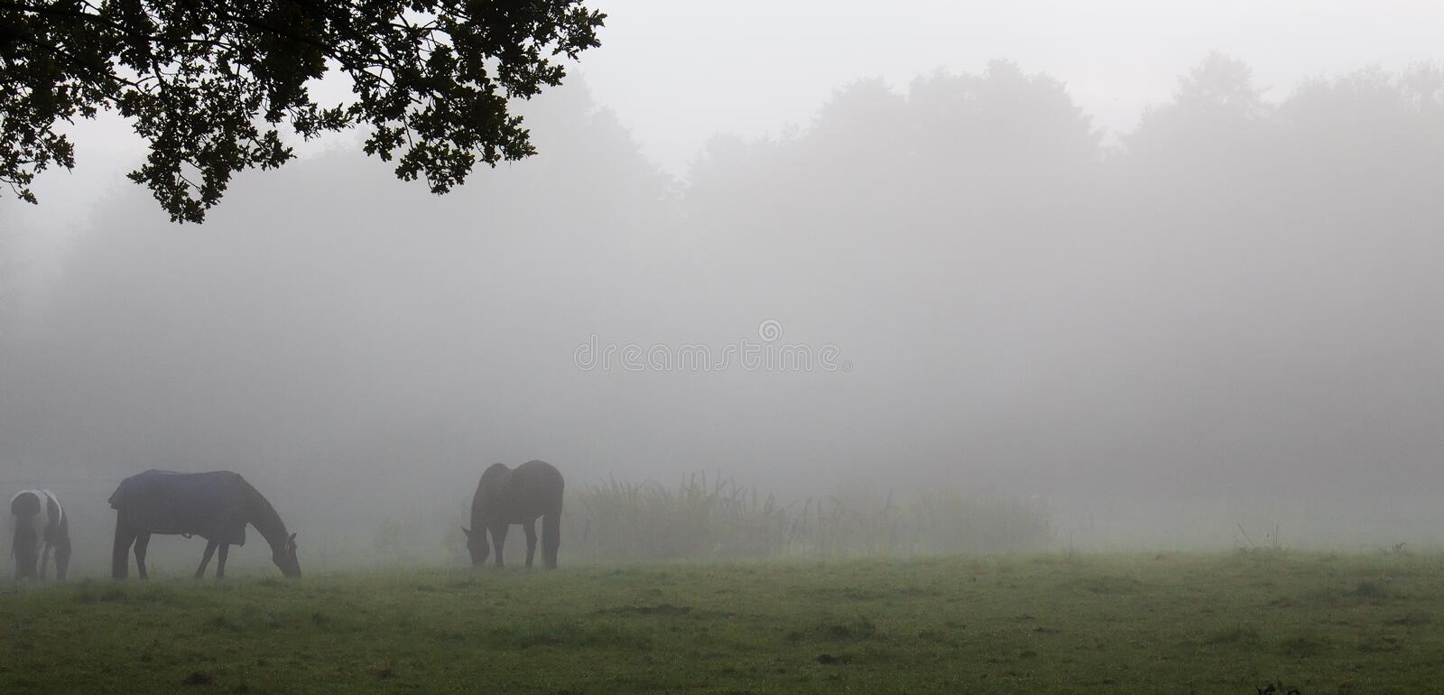 Several horses. On a pasture in the fog stock photography