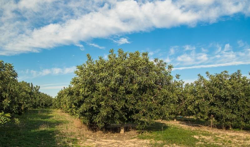 several images of the carob trees stock image
