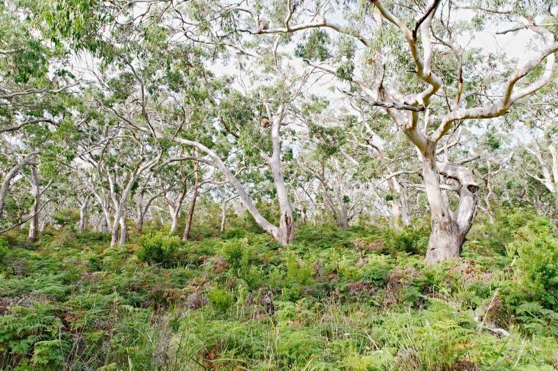 Several koala bears resting in gum trees stock photos