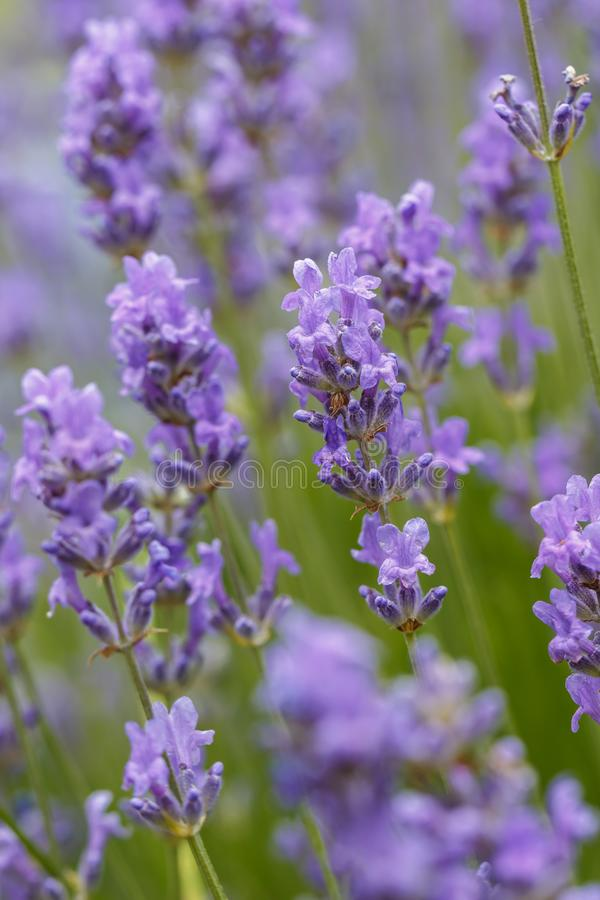 Several lavendar flowers in a garden. royalty free stock photo