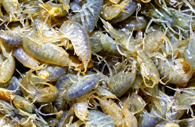 Several lively large multicolored translucent crustaceans - close-ups. Several multicolored live crustaceans - scuds as a background close-up. Used for winter stock images