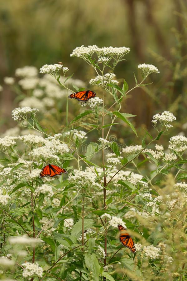 Monarch butterflies on white wild flowers in the late summer.. stock photos