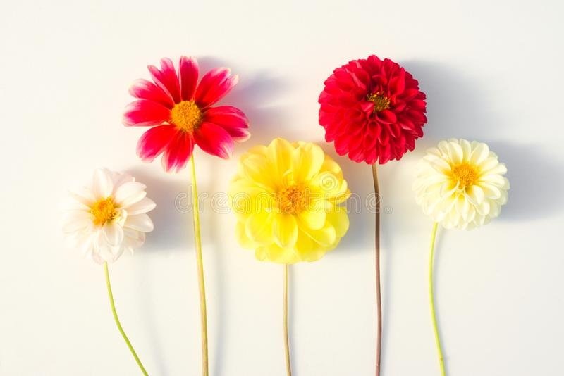 Several multi-colored dahlia flowers on a white background stock photo