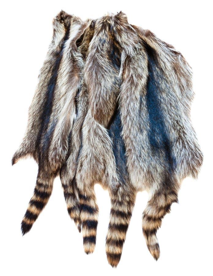 Several natural raccoon pelts. Material for fur clothing - several natural raccoon pelts stock photo