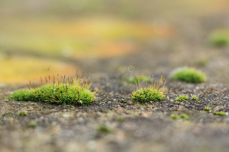 Several pieces of green moss grow on the stone wall with a delicate texture - nature blurred background design. Several pieces of a green moss grow on a stone stock image