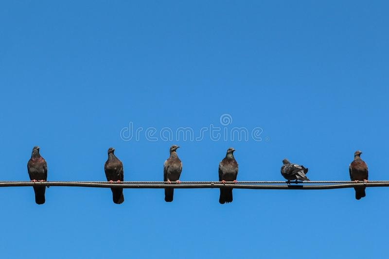 Several pigeons are sitting on wires, one bird turned its back. Symbol of Individuality and independence. lateral thinkig. Several pigeons are sitting on wires stock images