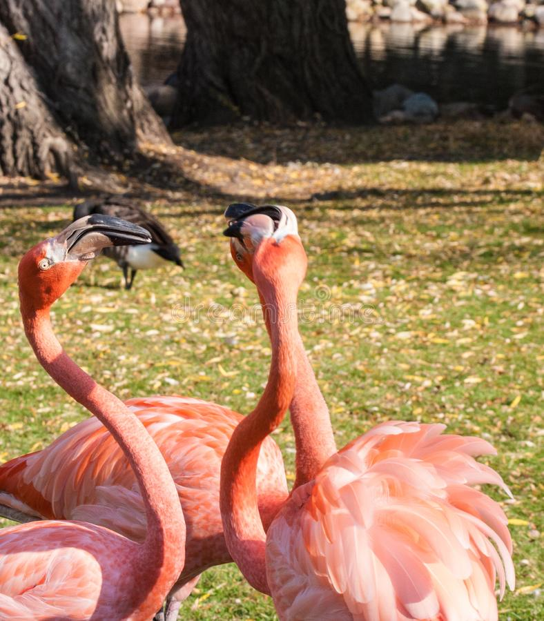 Several Pink Flamingos near pond royalty free stock photography
