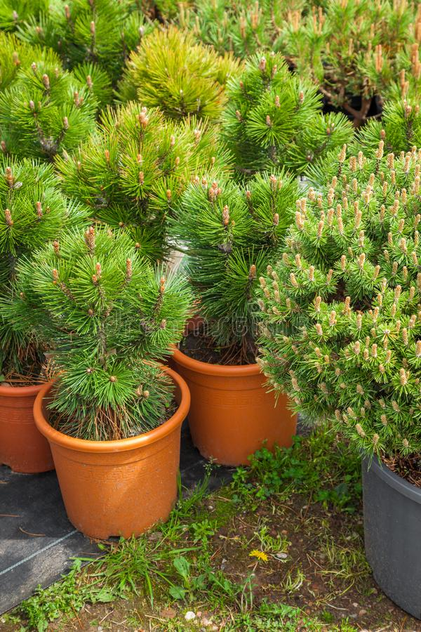 Several plastic pots of beautiful pine trees on tree nursery. royalty free stock images