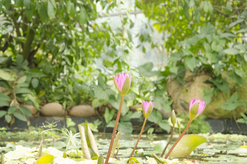 Water lilies in the water. Several purple water lilies in the water stock images