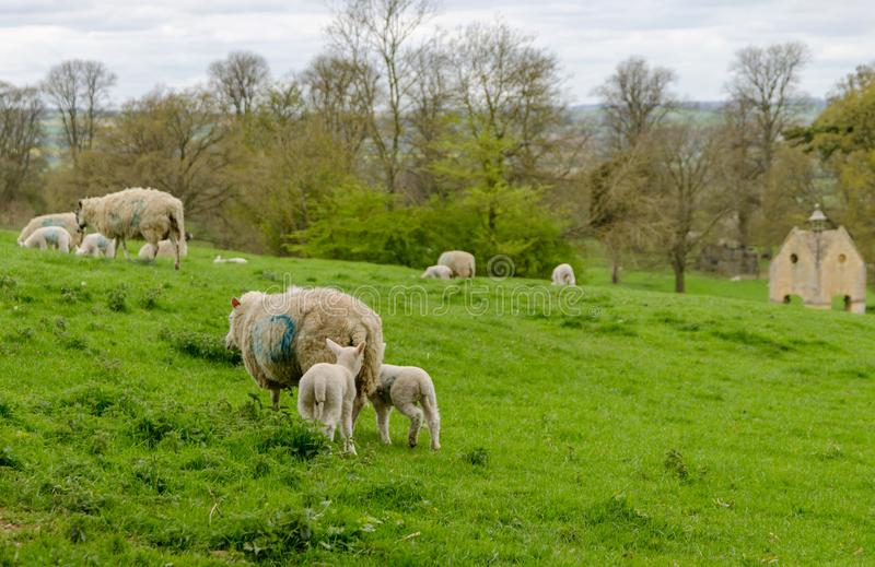Sheep and lambs grazing in a field royalty free stock image