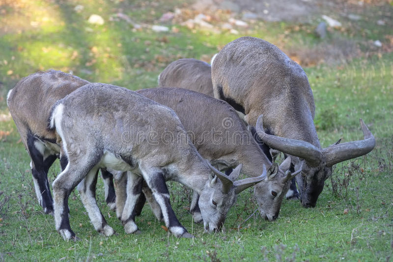 Several sheeps (Pseudois nayaur) eat grass.  royalty free stock photography