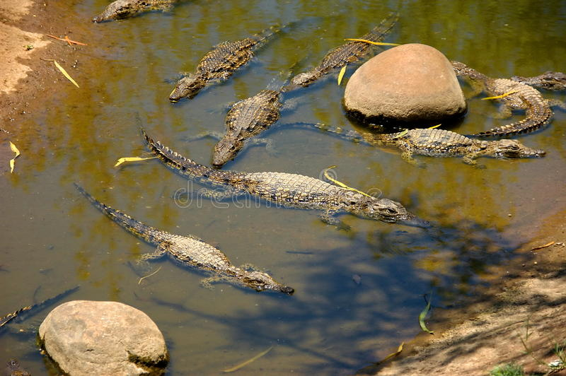 Download Several small crocodiles stock image. Image of puddle - 26492827