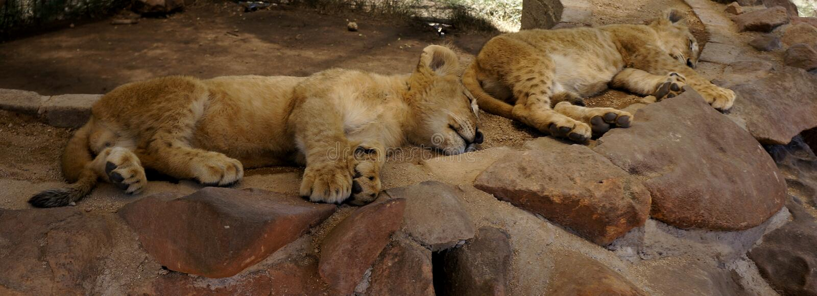 Several small cute lions rest royalty free stock images