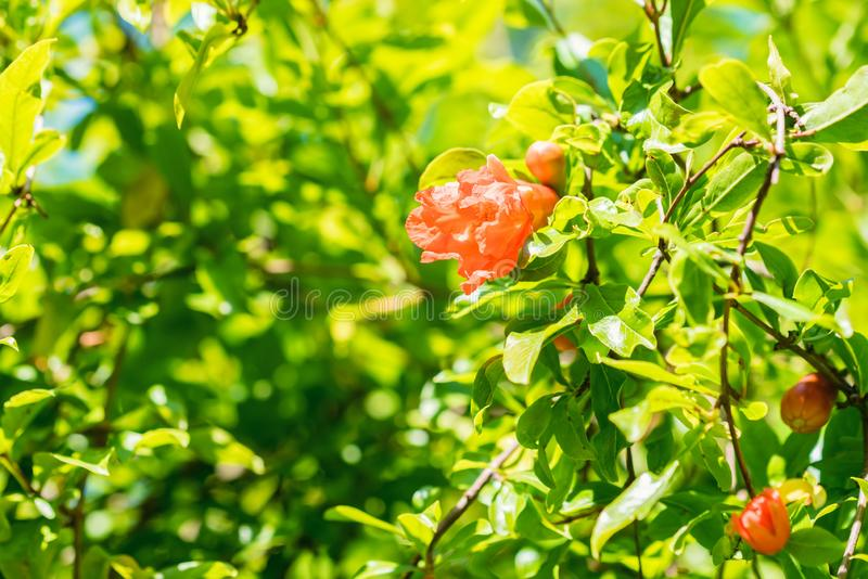 Several small red pomegranate flowers on tree. Close up beautiful tender flowers blooming on pomegranate tree stock photo