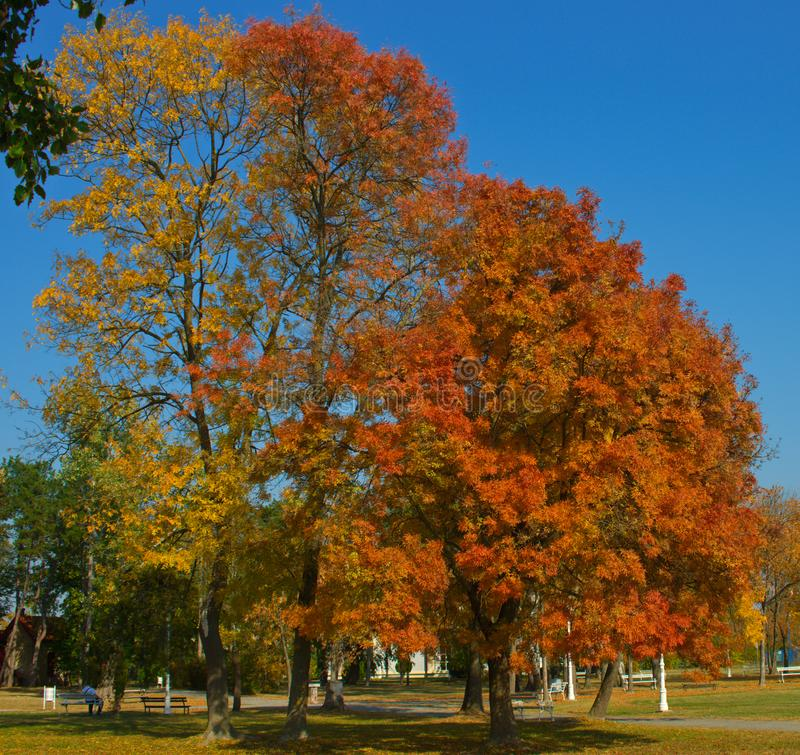Several trees in park with vibrant colored leaves during autumn time royalty free stock image