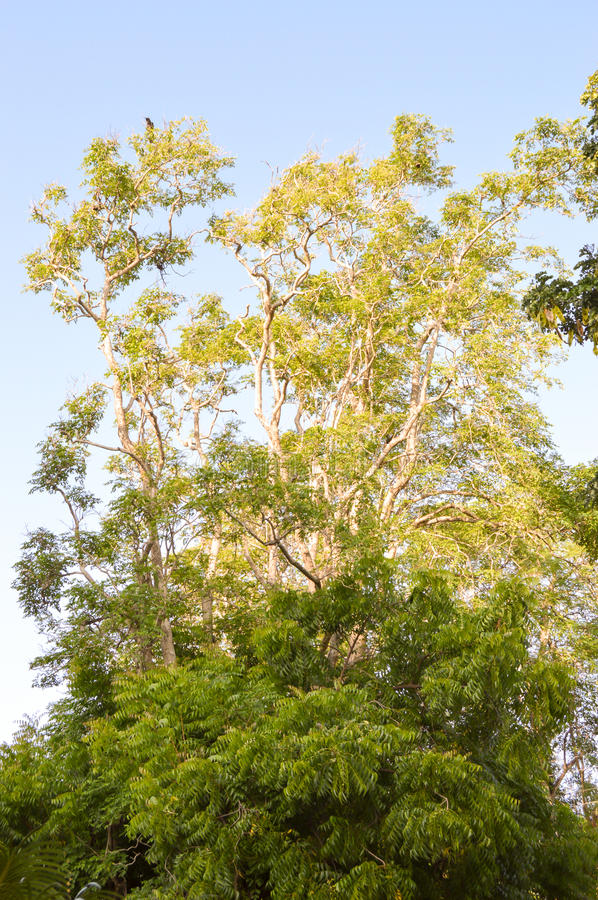 Several trees under. The sun with a blue sky in the background in the city of Mombasa stock photography