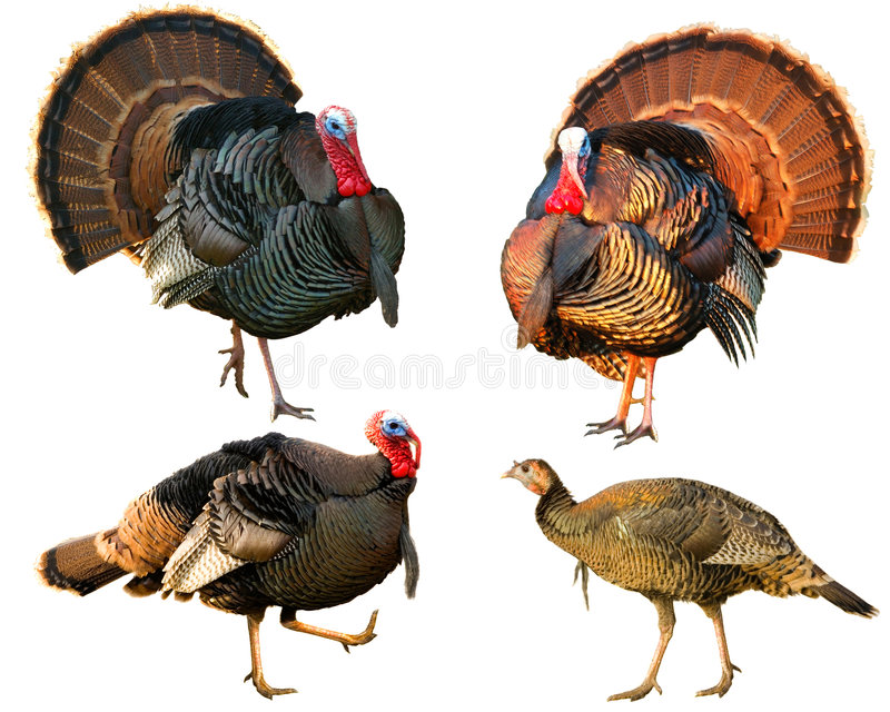 Download Several Turkey Toms Strutting Stock Photo - Image: 4794518
