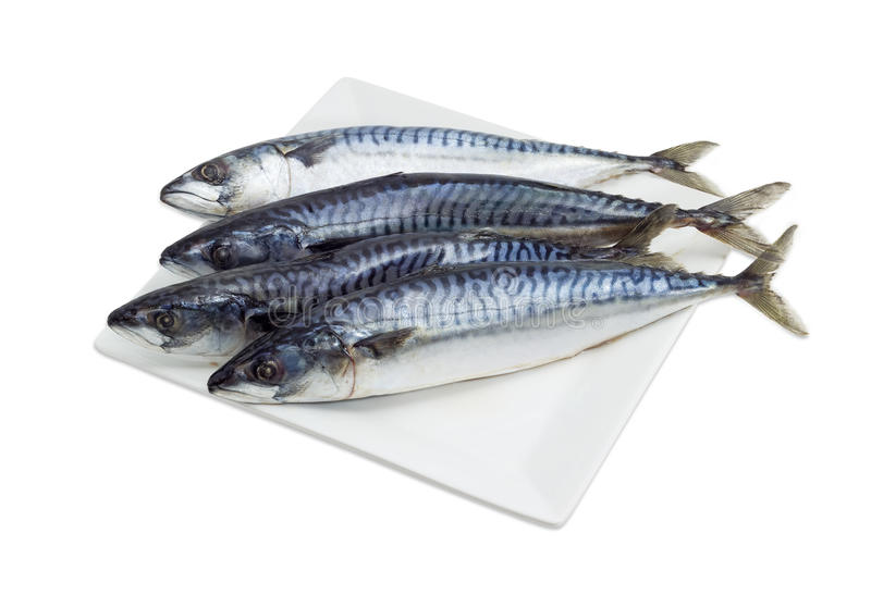 Several uncooked Atlantic mackerel on a white dish. Several whole uncooked atlantic mackerel on a square white dish on a light background stock image