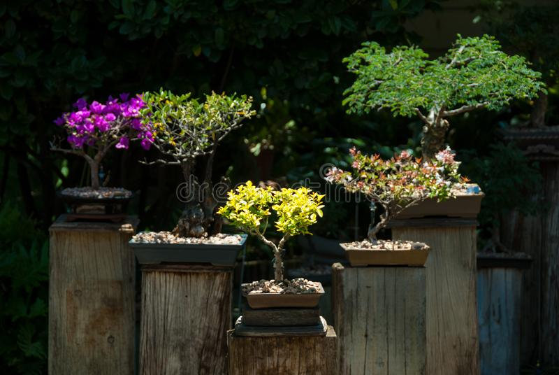 Five bonsai trees on pedestals. Several varieties of bonsai trees in a home garden midday johannesburg south africa royalty free stock photos