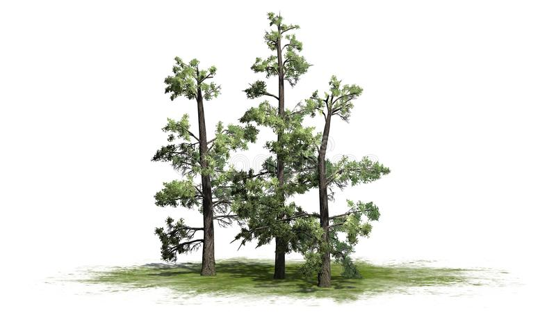 Several various Eastern White Pine trees. Isolated on white background royalty free illustration