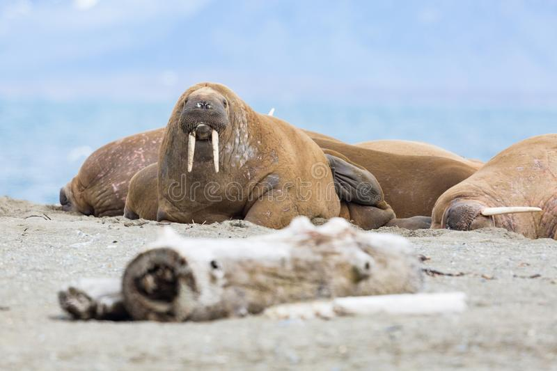 Several walruses lying on sandy ground odobenus rosmarus, Sval. Several natural walruses lying on sandy ground odobenus rosmarus, Svalbard stock photo