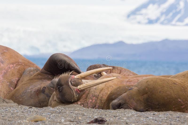 Several walruses sleeping on sandy ground odobenus rosmarus, g. Several natural walruses sleeping on sandy ground odobenus rosmarus, glacier royalty free stock photography