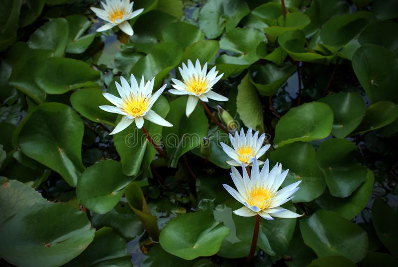 Several water lilies in a pond with green leaves. Image of several white Nymphea water lilies in a pond with green leaves. Dark vignetting stock photos