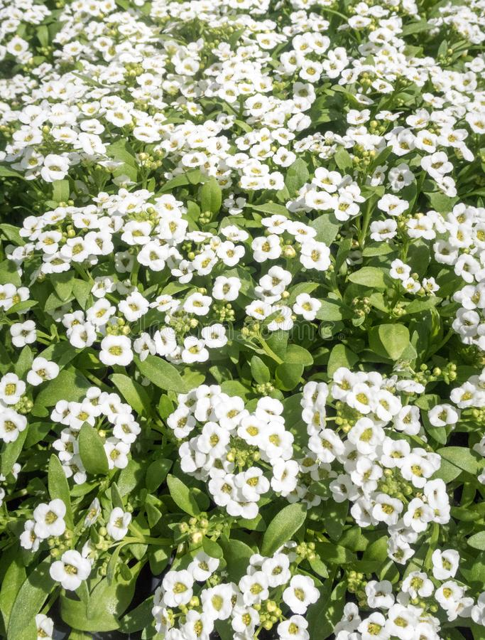 White Alyssum clear crystal flowers. Several white Alyssum clear crystal summer blooming flowers upstate New York,  Brassicaceae royalty free stock photo