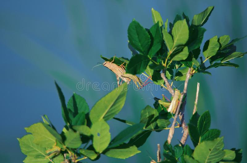 Several Young grasshoppers in the wild sitting on a tree Bush against the blue water in summer. Young brown grasshoppers in the wild sitting on a tree Bush on a stock photography