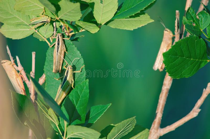 Several Young grasshoppers in the wild sitting on a tree Bush on a blue water background in summer with a Sunny day. Young brown grasshoppers in the wild sitting stock image