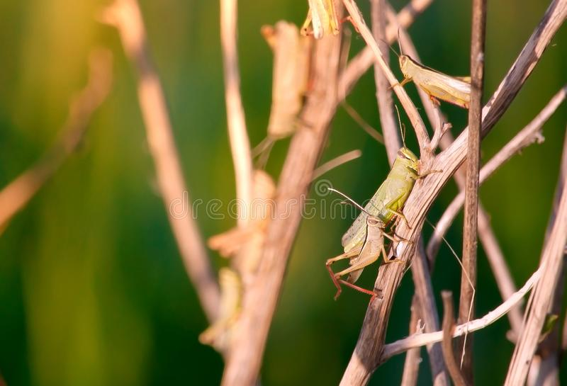 Several Young grasshoppers in the wild sitting on a tree Bush. Young brown grasshoppers in the wild sitting on a tree Bush on a blue water background in summer royalty free stock photos