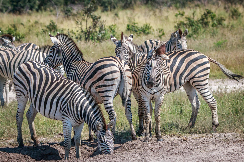Several Zebras bonding in the grass. royalty free stock images