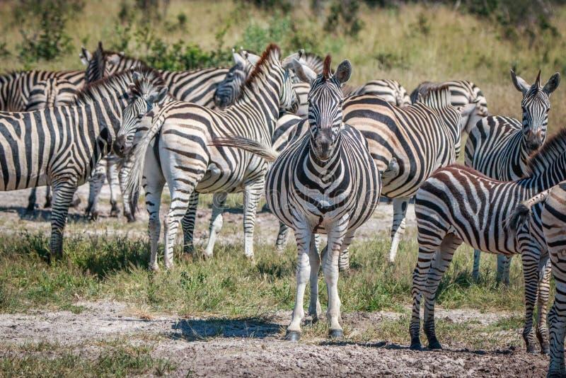 Several Zebras bonding in the grass. stock photo