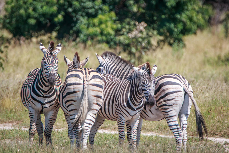 Several Zebras bonding in the grass. stock photos