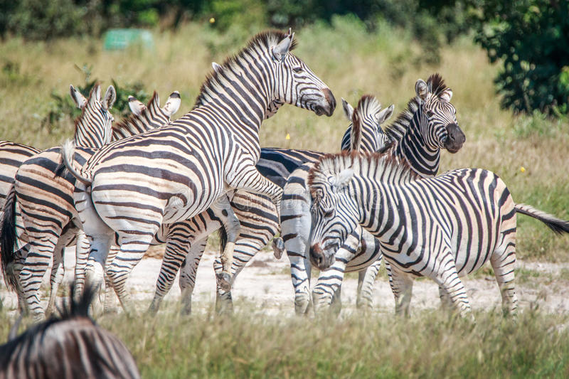 Several Zebras bonding in the grass. royalty free stock photography