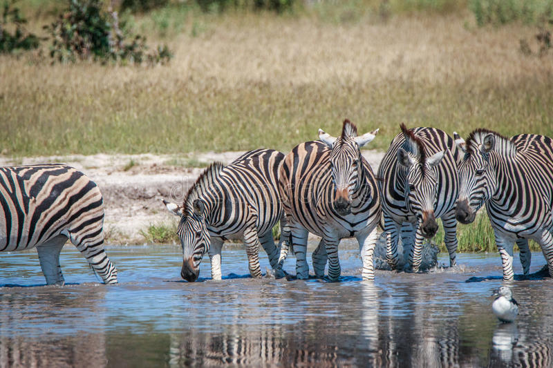 Several Zebras drinking in the Chobe. Several Zebras drinking in the Chobe National Park, Botswana stock images