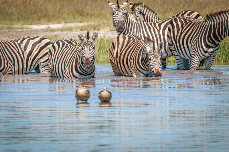 Several Zebras drinking in the Chobe. royalty free stock photos