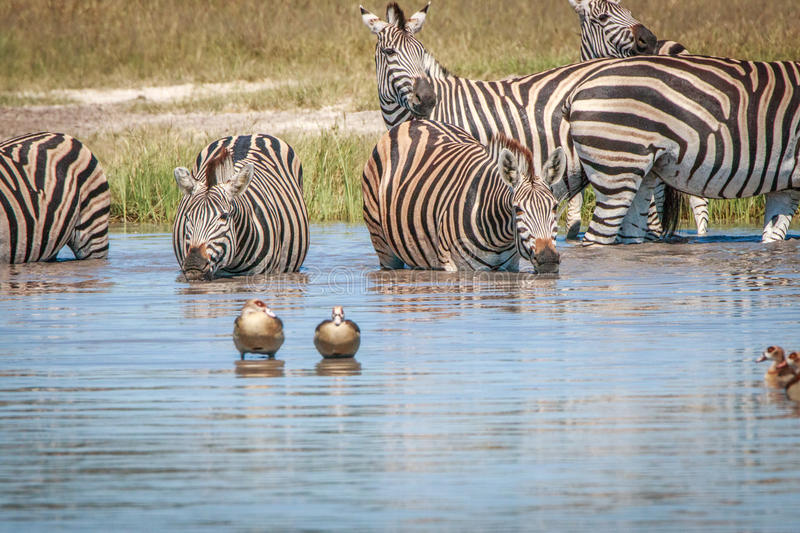 Several Zebras drinking in the Chobe. royalty free stock photography