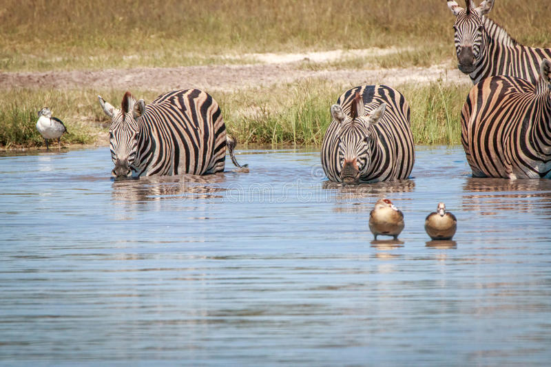 Several Zebras drinking in the Chobe. stock photos