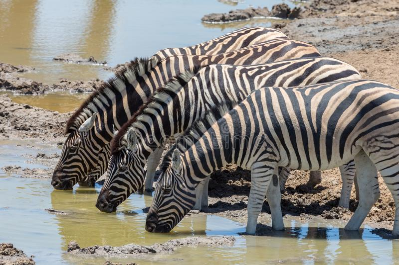 Several zebras drinking water in a row in natural environment stock photos