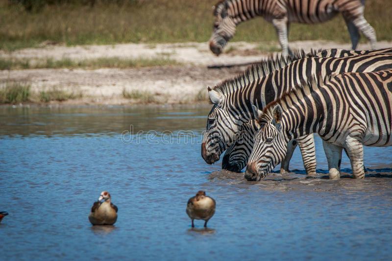 Several Zebras drinking in the waterhole royalty free stock image