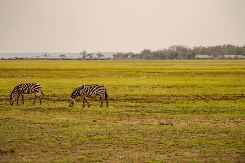 Several zebras grazing in the savannah of Amboseli Park royalty free stock photo