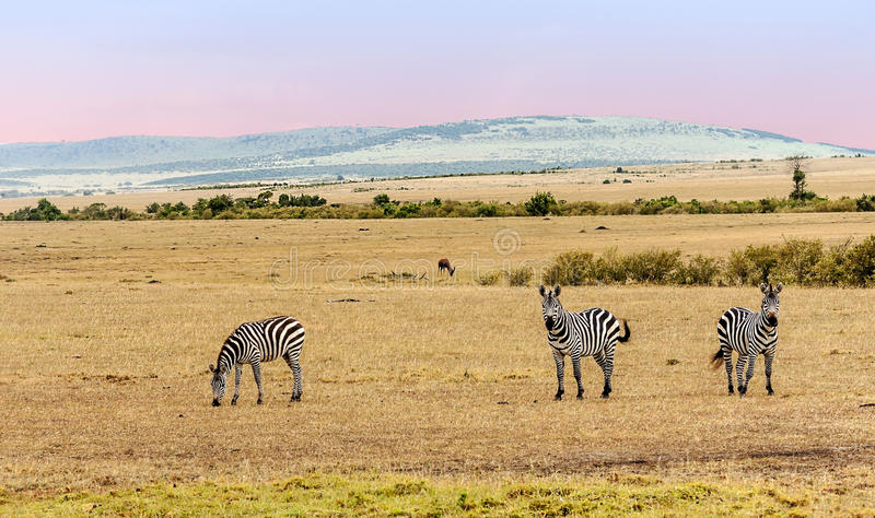 Several zebras. Looking in the African Savannah at sunset royalty free stock photography