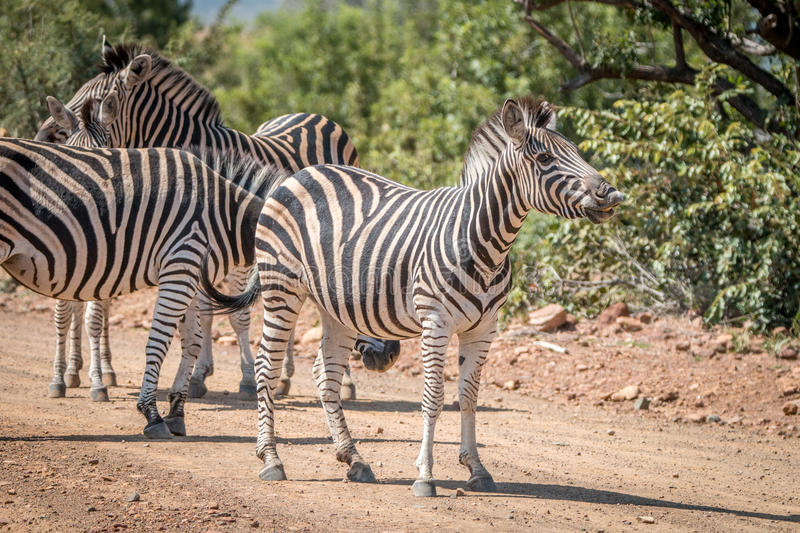 Several Zebras playing on the road. royalty free stock image