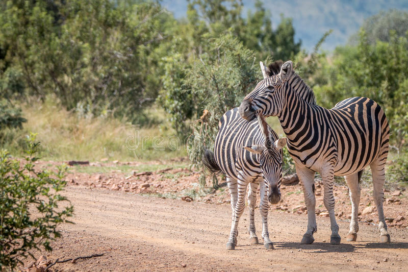 Several Zebras playing on the road. stock photos