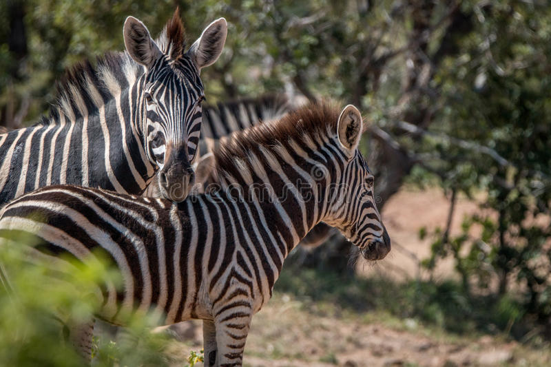 Several Zebras playing on the road. royalty free stock photography