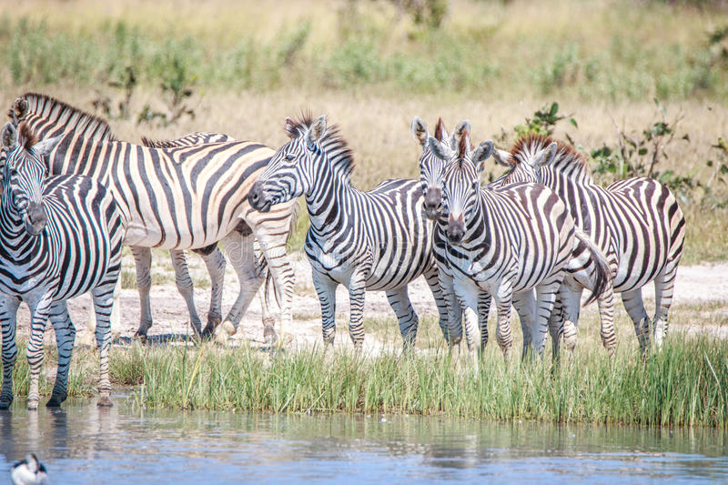 Several Zebras standing close to the water. stock photo